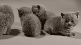 Felino blu di Britannici Shorthair bello, isolato stock footage