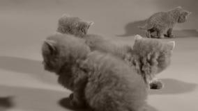 Felino blu di Britannici Shorthair bello, isolato video d archivio