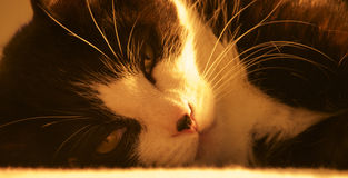 Felino em preto e branco Fotografia de Stock