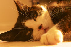 Felino em preto e branco Fotos de Stock