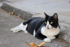 Felino en blanco y negro Foto de archivo libre de regalías