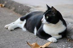 Felino en blanco y negro Fotografía de archivo libre de regalías