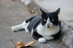 Felino en blanco y negro Imágenes de archivo libres de regalías