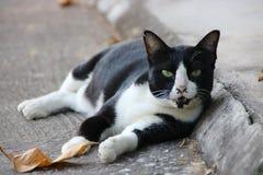 Felino en blanco y negro Fotos de archivo libres de regalías