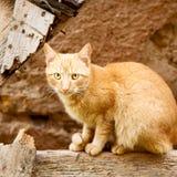 felino en Marruecos África y cara dulce foto de archivo libre de regalías