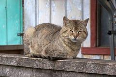 Felis catus del gatto domestico Fotografia Stock