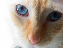 Felis catus flamepoint siamese Royalty Free Stock Image
