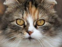 Felis catus, Katze Stockfoto