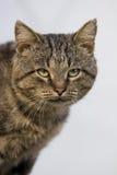 Felis catus, Katze Stockbild