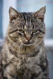 Felis catus, Katze Stockbilder