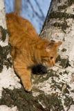 Felis catus, Katze Lizenzfreie Stockfotos