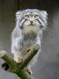 Felis manul Royalty Free Stock Images
