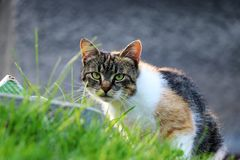 A felis silvestris catus looking on her enemy and waiting for right moment. Green eyes, watchfulness, alertness royalty free stock photo