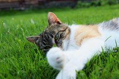A felis silvestris catus lying in grass and cleaning her legs and paws. Relax after hard day royalty free stock images
