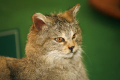 Felis silvestris wild cat. Head shot of stuffed african wild cat felis silvestris silvestris. Creature inhabits the forests and grasslands of Europe Stock Photos