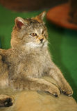 Felis silvestris wildcat. Head shot of stuffed african wild cat felis silvestris silvestris. Creature inhabits the forests and grasslands of Europe Stock Image