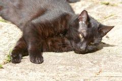 Feliscatus - korte haired kat in tuin royalty-vrije stock foto