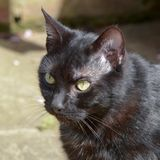 Feliscatus - korte haired kat in tuin royalty-vrije stock afbeelding