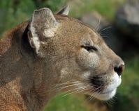Felix concolor [Cougar] Stock Image