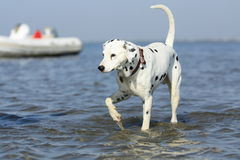Felix the dalmatian. Dog running after fish in the danube delta Stock Photo