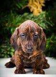 Feliz Año Nuevo del retrato del perrito del perro basset Foto de archivo libre de regalías