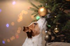 Feliz Año Nuevo, la Navidad, Jack Russell Terrier Días de fiesta y celebración Imágenes de archivo libres de regalías