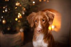 Feliz Año Nuevo, la Navidad, perro Nova Scotia Duck Tolling Retriever, días de fiesta y celebración Fotografía de archivo