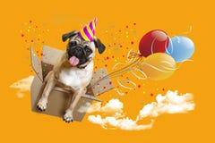 Feliz aniversario Pug em uma caixa, balões do cão imagens de stock