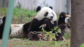Feliz pouco Panda Cub está comendo o tiro de bambu felizmente vídeos de arquivo