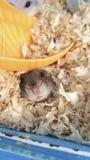feliz travieso del pío precioso de la infancia del roedor del mamífero del anima del hámster imágenes de archivo libres de regalías