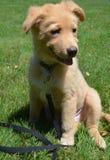Feliz va el perro de perrito de Lucky Nova Scotia Duck Tolling Retriever Sitt fotos de archivo libres de regalías