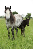 Fell pony mare with foal Royalty Free Stock Images