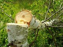 Felled birch Stock Photography