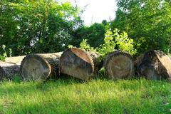Felled boles in a forest Royalty Free Stock Photography