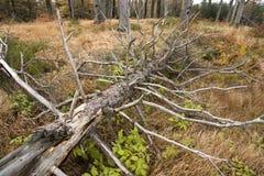 Felled boom in het bos Stock Afbeelding