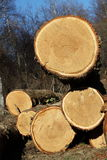 Felled Eiken Bomen voor Hout Royalty-vrije Stock Fotografie