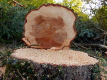 Felled European Spruce Tree. Cross section of the trunk of a large felled European Spruce Tree (Picea abies) showing the growth rings Stock Image