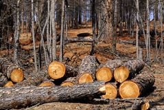 Felled logs. A stack of felled logs on the edge of a wood royalty free stock photos