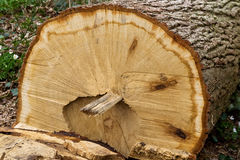 Felled oak tree Stock Photo