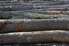 Felled oak tree trunks Royalty Free Stock Photos