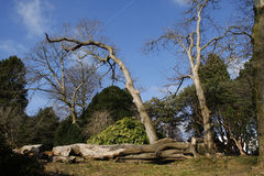 Felled old tree Stock Photography