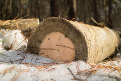 Felled pine log in the snow. One felled pine log in the snow close-up royalty free stock photos