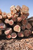 Felled pine logs Stock Image