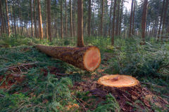 Felled pine tree Stock Photography