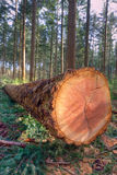 Felled pine tree Royalty Free Stock Photography