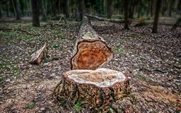 Felled pine tree. In a forest Royalty Free Stock Image