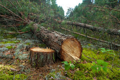 Felled a pine tree in the forest Stock Images