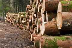 Felled pine trees. Harvested pine trees, forestry management royalty free stock image