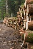 Felled pine trees. Harvested pine trees, forestry management royalty free stock photo