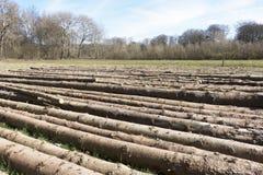 Felled pine trees. Stock Photo